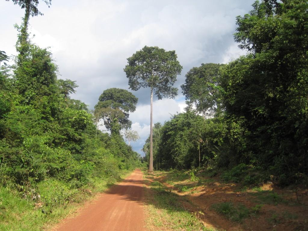 Paranussbäume im Urwald von Riberalta.