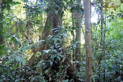 Der Wald - ursprünglicher Lebensraum der Orang Rimba.