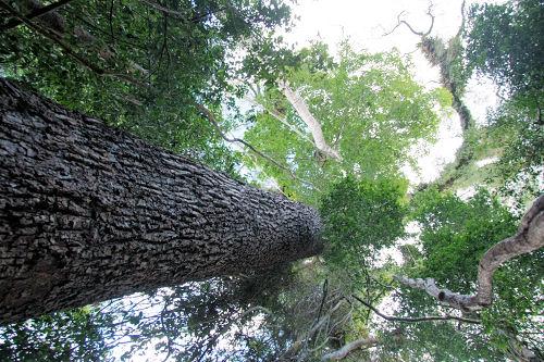 Solche Bäume müssen den Holzplantagen weichen.
