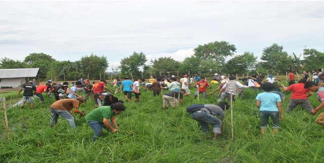 Etappensieg: Das Versuchsfeld in Camarines Sur wurde von den Aktivisten zerstört