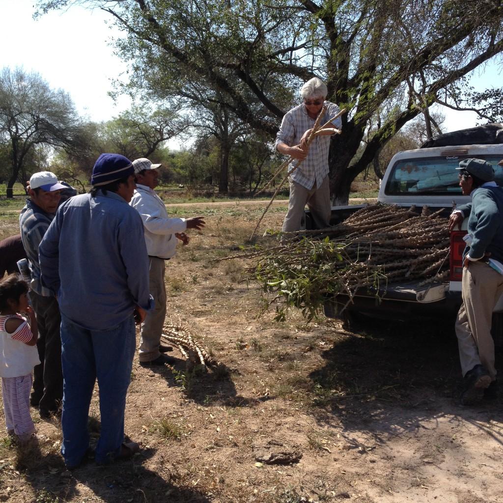 Alberto Hug liefert frische Yucca-Pflanzen