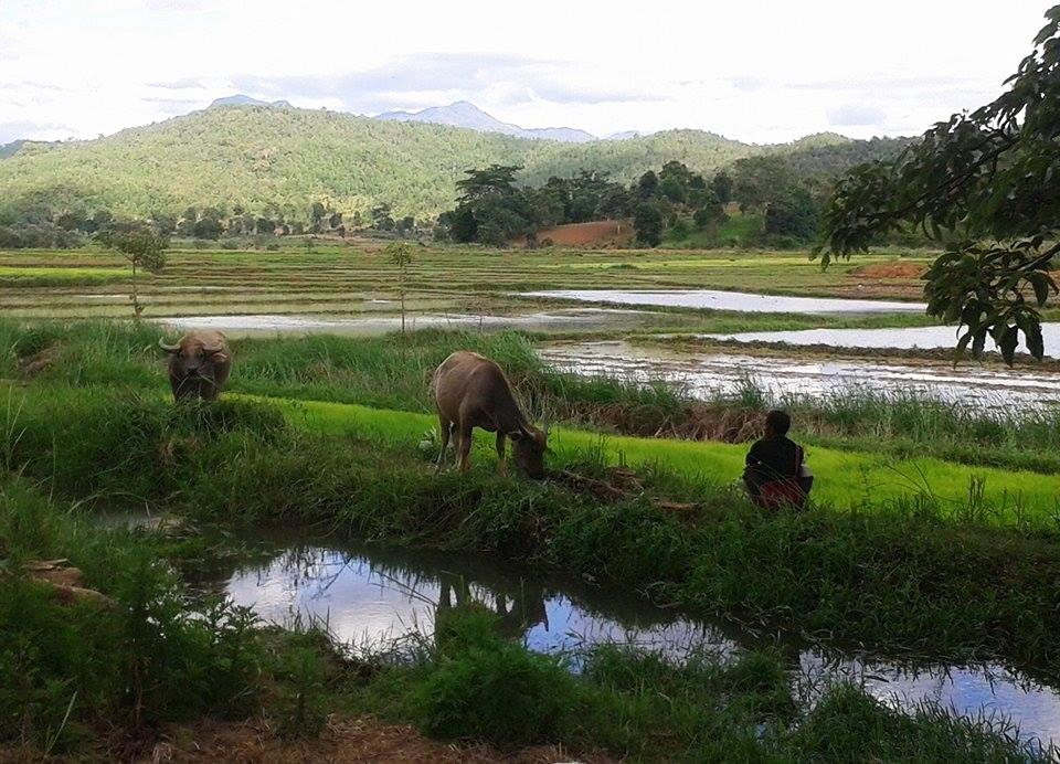 Reisfelder in Shan State_Myanmar