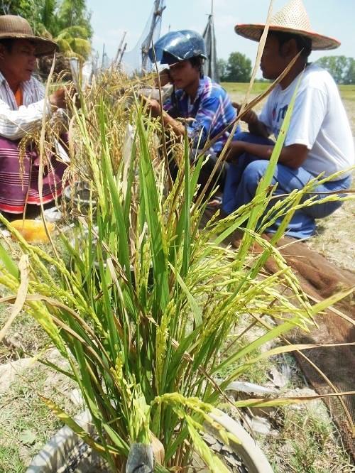 Traditionelle Reissorten_Ayeyarwady Delta