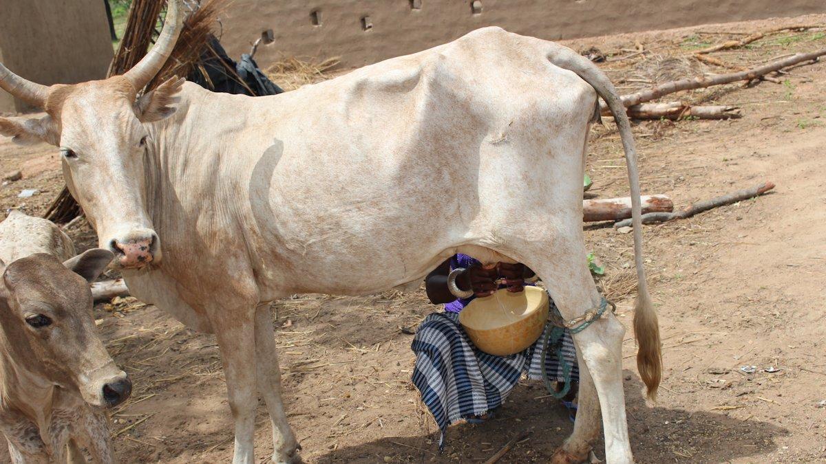 Deutsche und afrikanische Milchbauern Du bist kein Milchbauer, du bist Milchpulververkäufer (4)