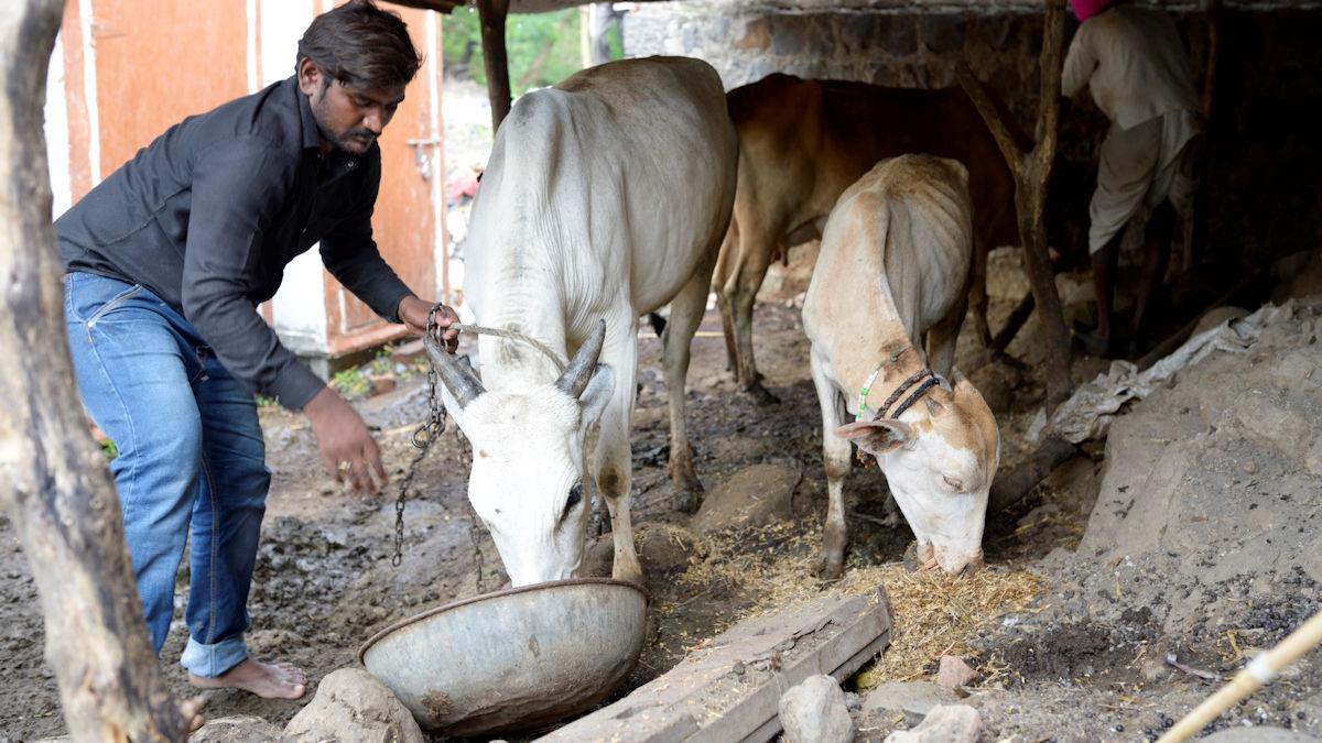 Bauer Nitin Laxman Kajabe pflegt seine Rinder © Kopp/MISEREOR