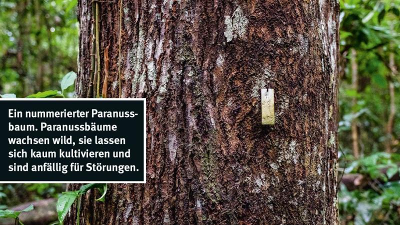 Ein nummerierter Paranussbaum. Paranussbäume wachsen wild, sie lassen sich kaum kultivieren und sind anfällig für Störungen. © Eduardo Soteras / MISEREOR