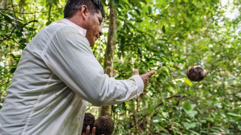 Santos Cáceres erntet Paranüsse im Wald. Die Tacanas sammeln nur die Nüsse auf, die bereits heruntergefallen sind. © Eduardo Soteras / MISEREOR