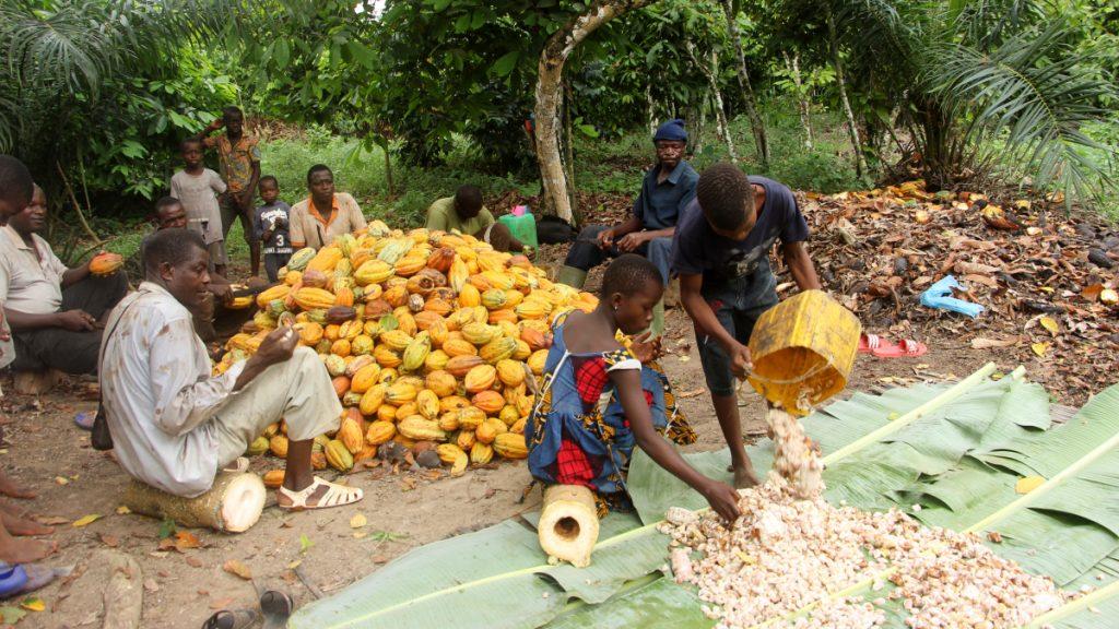 Daniel und Emanuelle helfen ihren Eltern nach der Schule manchmal auf der Kakao-Plantage. Das zählt aber nicht zu ausbeuterischer Kinderarbeit und macht ihnen Spaß. © INADES/MISEREOR.