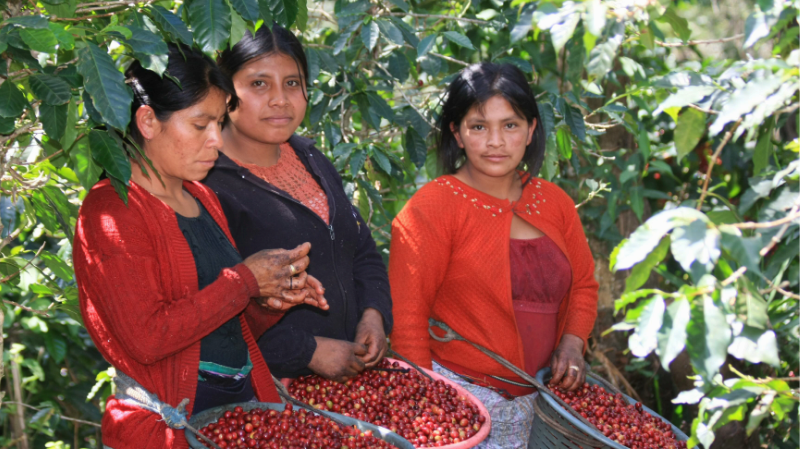 Drei Frauen ernten Kaffeekirschen