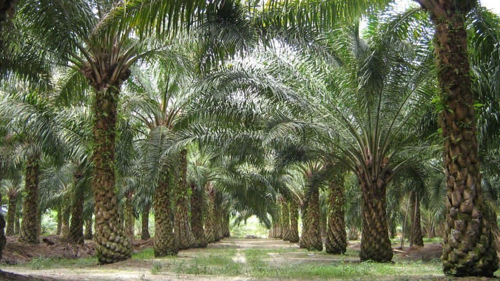 Palmöl-Plantage in Malaysia: Beinahe jedes zweite Produkt in deutschen Supermärkten enthält Palmöl