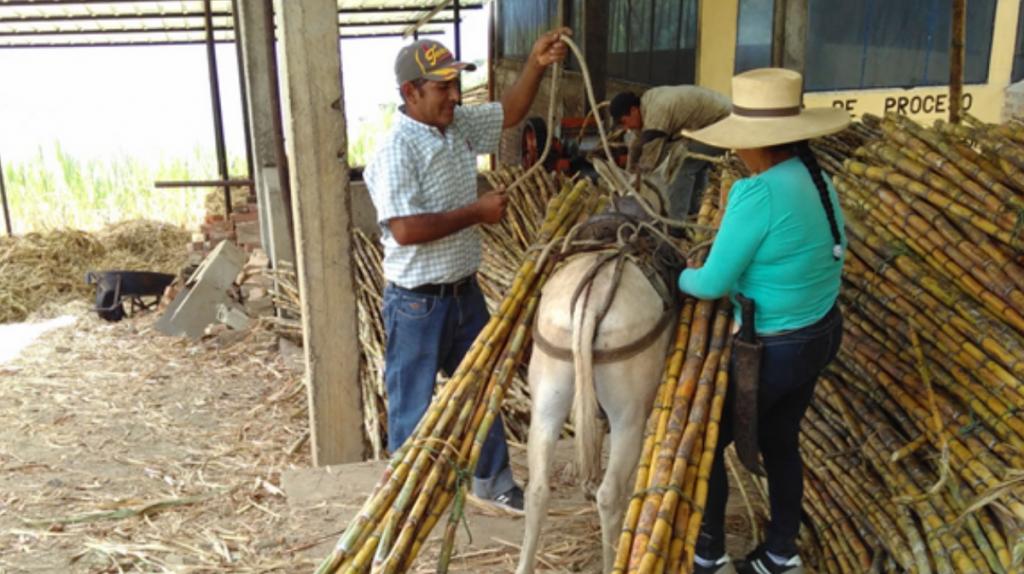 Eine Frau und ein Mann bearbeiten Zuckerrohr.