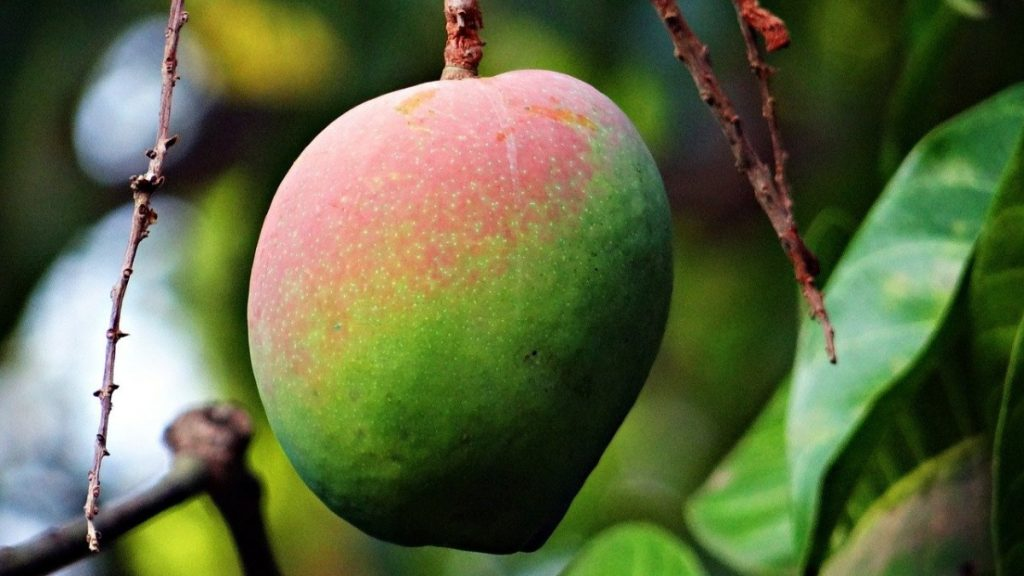 Mango-Frucht am Baum