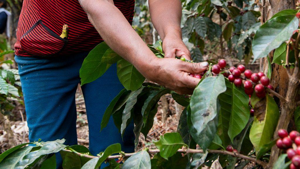 Kaffeeanbau Agroforst-System